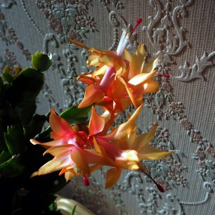 4. Shallow depth of field shot - Christmas cactus | Diana Mutimer